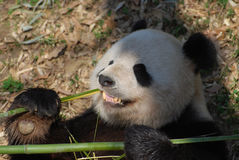 Panda Bear Showing His Teeth As He Munches on Bamboo. Cute panda with his teeth showing while he eats bamboo shoots royalty free stock photos