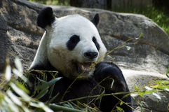 Panda bear showing teeth. Giant Panda bear with his mouth open eating stock photography