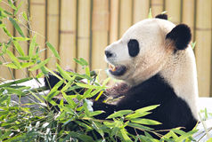 Panda Bear. Sitting down eating Bamboo plants Stock Photo