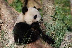 Panda Bear Smelling His Bamboo prima del cibo  Fotografie Stock Libere da Diritti