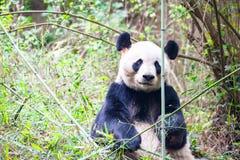 Panda Bear som sitter i bambu, Chengdu, Kina royaltyfri foto