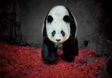 Panda bear . Panda bear standing at the zoo stock photography