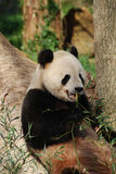 Panda Bear with Teeth Showing While He was Eating Bamboo. Cute panda bear with teeth showing eating bamboo royalty free stock photography