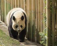 Panda Bear Walking Lizenzfreie Stockfotografie