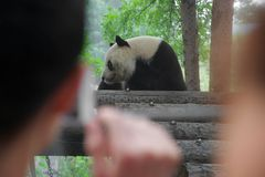 Panda bear watched by out of focus people stock photo