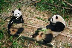 Panda bears. Two panda bears resting and eating bamboos Stock Photo