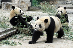 Panda Bears in Beijing China. Panda bears in Beijing Zoo, China Royalty Free Stock Images
