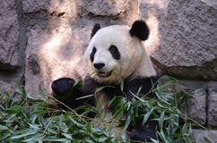 Panda of Beijing Royalty Free Stock Image