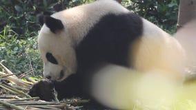Panda bij de dierentuin stock videobeelden