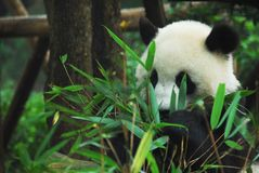 Panda Biting Bamboo Stock Photography