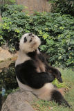 Panda bonita que relaxa no parque do oceano Foto de Stock Royalty Free