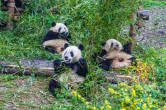 Panda Breeding Research Base gigante, Chengdu, Cina immagine stock