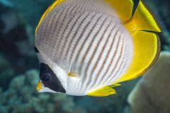 Panda Butterflyfish,Chaetodon adiergastos. Butterflyfish off the coast of Bali Stock Images