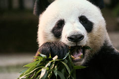 Panda in Chaingmai Zoo, Thailand. Royalty Free Stock Photo