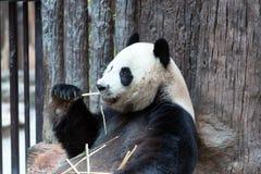 Panda che mangia bambù, Chiang Mai Zoo immagini stock