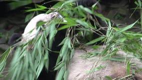 Panda che mangia bambù mentre mettendo sul suo indietro a Chengdu Cina video d archivio