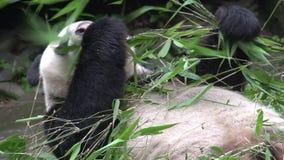 Panda che mangia bambù mentre mettendo sul suo indietro a Chengdu Cina stock footage