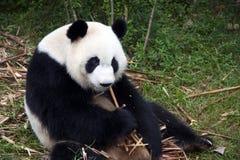 Panda che mangia pila di bambù Fotografia Stock