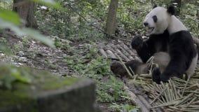 Panda che si siede nel legno che rosicchia sul bambù stock footage