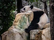 Panda Chengdu stockbild