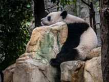 Panda Chengdu. Panda playing in the bamboo forest in Sichuan province Stock Image
