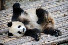 Panda. A panda in the zoo Stock Photos