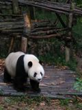 Panda in China stockbilder