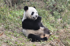Panda in China Lizenzfreie Stockfotos