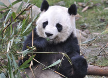 Panda In China Stock Photography