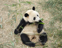 Panda in China Lizenzfreie Stockfotografie