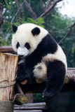 Panda in China. Panda is a quite lovely animal, seems a little bit dumpish but auctually quite smart. it can climb the trees even low hill Stock Photos