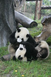 Panda in China. Panda is a quite lovely animal, seems a little bit dumpish but auctually quite smart. it can climb the trees even low hill Stock Image