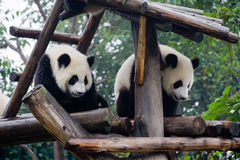 Panda in China. Panda is a quite lovely animal, seems a little bit dumpish but auctually quite smart. it can climb the trees even low hill Stock Photo
