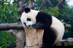 Panda in China. Panda is a quite lovely animal, seems a little bit dumpish but auctually quite smart. it can climb the trees even low hill Royalty Free Stock Image