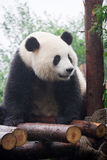 Panda in China. Panda is a quite lovely animal, seems a little bit dumpish but auctually quite smart. it can climb the trees even low hill Royalty Free Stock Photography