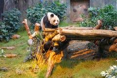 Panda chinesa no jardim zoológico fotos de stock