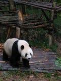 Panda in Cina Immagini Stock