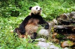 Panda cinese Immagine Stock