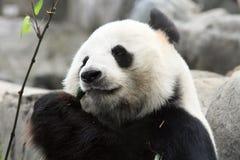 Panda cinese gigante Fotografie Stock Libere da Diritti