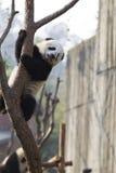 Panda Climbing royaltyfri foto
