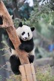Panda climbing tree Royalty Free Stock Photo