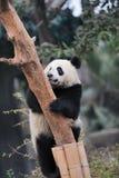 Panda climbing tree Stock Photos