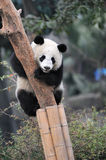 Panda climbing tree Royalty Free Stock Photos