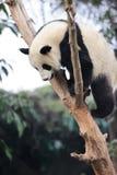 Panda climbing tree Royalty Free Stock Images