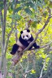 A panda climbing the tree. Panda seems charmingly naive, action is slow, but very powerful ability to climb trees Stock Photo