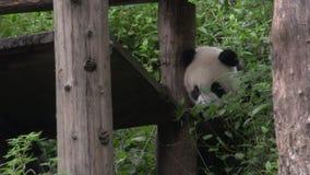 Panda climing autour de sa maison en bois à Chengdu Chine clips vidéos