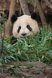 Panda com bambu Fotos de Stock Royalty Free