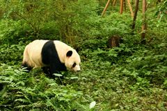 Panda coming out to play at the Chengdu Zoo. royalty free stock image