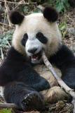 Panda con el bambú imagen de archivo libre de regalías