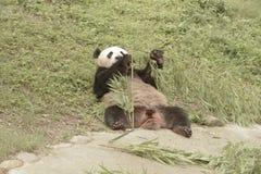 Panda Conservation Area Chengdu Arkivfoto